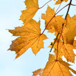 Yellow maple twig — Stock Photo