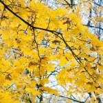 Maple foliage — Stock Photo