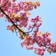 Pink japanese cherry blossom — Stock Photo