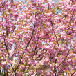 Pink japanese cherry blossom — Stock Photo
