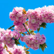 Pink Cherry blossom — Stock Photo #4584575