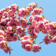 Pink japanese cherry blossom — Stock Photo #4584576