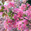 Pink cherry blossom — Stock Photo #4584608