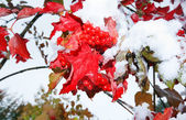 First snow on viburnum — Stockfoto
