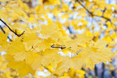 Maple foliage — Stock Photo