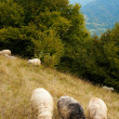Sheep in mountain — Stock Photo #4594585