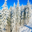Winter spruce trees — Stock Photo #4595208