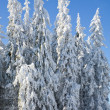 Winter spruce trees — Stock Photo