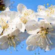 Blossoming cherry-tree twig — Stock Photo #4595419
