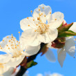 Stock Photo: Blossoming cherry twig on sky background