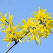 Stock Photo: Yellow flowers (Forsythia)