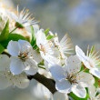 White blossoming cherry tree twig — Stock Photo #4599867