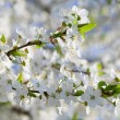 White blossoming cherry tree twig — Stock Photo #4599877