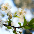 Blossoming twig of cherry-tree — Stock Photo #4599966