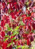 Red autumn foliage — Stock Photo
