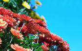 Chrysanthemum arrangement — Stock Photo