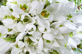 Snowdrop flowers background — Stock Photo
