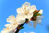 Blossoming cherry twig on sky background — Stock Photo