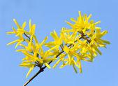 Gele bloemen (Forsythia) — Stockfoto