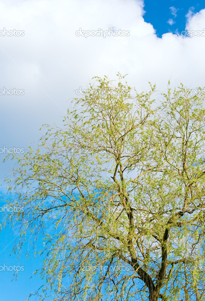 Spring blossoming willow tree on sky background — Stock Photo #4599818