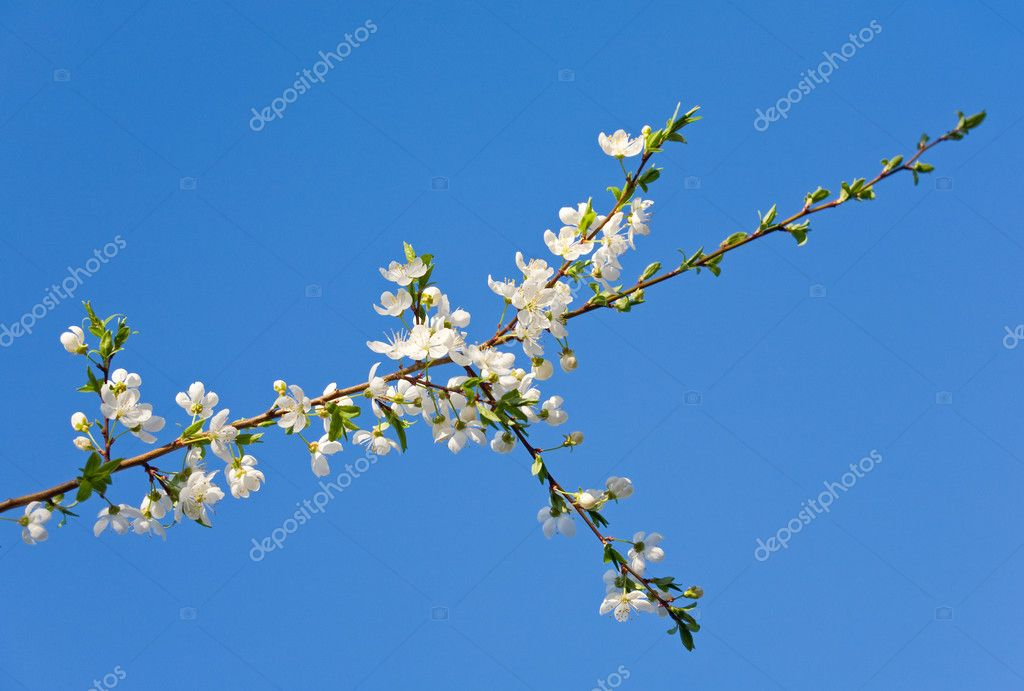 Blossoming twig of cherry-tree (on blossom tree and sky background)  Stock Photo #4599821