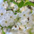 White blossoming cherry tree twig — Stock Photo