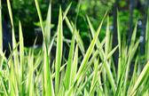 Carex plant (nature background) — Stock Photo