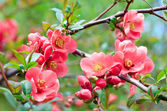 Red spring blossom — Stock Photo