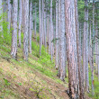 Summer pine forest on hill — Stock Photo