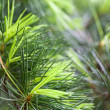 Pine tree — Stock Photo #4645624