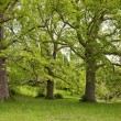 Big plane trees — Stock Photo