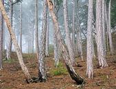 Bosque de pinos brumosa de verano en la colina — Foto de Stock