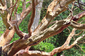 "Evergreen red tree ""Arbutus andrachne"" (Crimea, Ukraine) — Stock Photo"