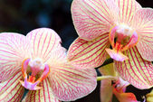 Orchid flower (with copy space in left upper corner) — Stock Photo