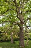 Big plane trees — Stock Photo
