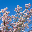 Stock Photo: Magnolia-tree