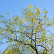 Spring willow tree on sky background — Stock Photo