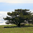 Pine tree — Stock Photo #4659464