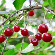 Twig of cherry-tree with red cherries — Stock Photo #4659634