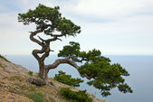 Juniper tree — Stock Photo