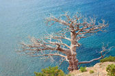 Withered juniper tree on sea background — Stock Photo