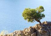 Juniper tree on rock on sea surface background — Stock Photo