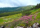 Fleurs de rhododendron en montagne l'été — Photo