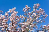 Magnolia-tree — Stock Photo