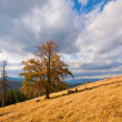 Lonely tree on autumn mountainside — Stock Photo