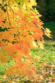 Autumn golden maple tree foliage — Stock Photo