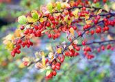 Berber twigs — Stock Photo
