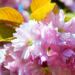 Pink japanese cherry blossom — Stock Photo #4680472