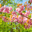 Stock Photo: Pink japanese cherry blossom