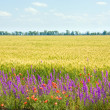Beautiful summer whea field with flowers. — Stock Photo